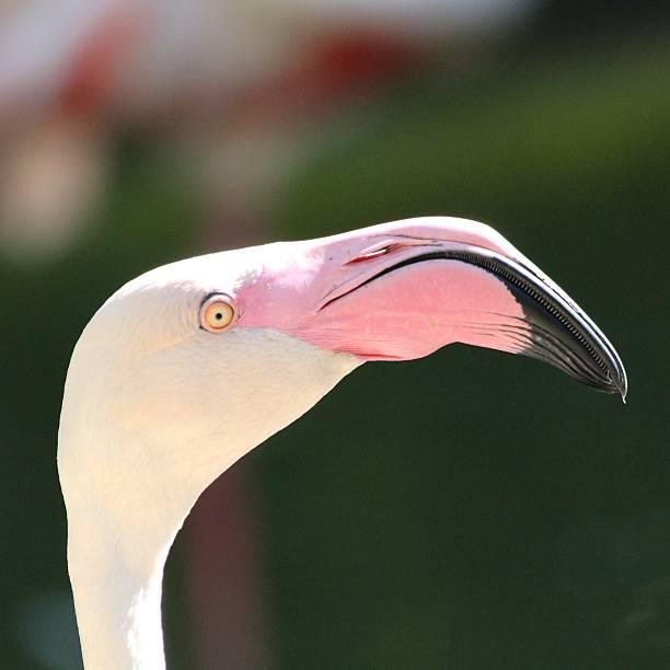 Pink Flamingo – Foto