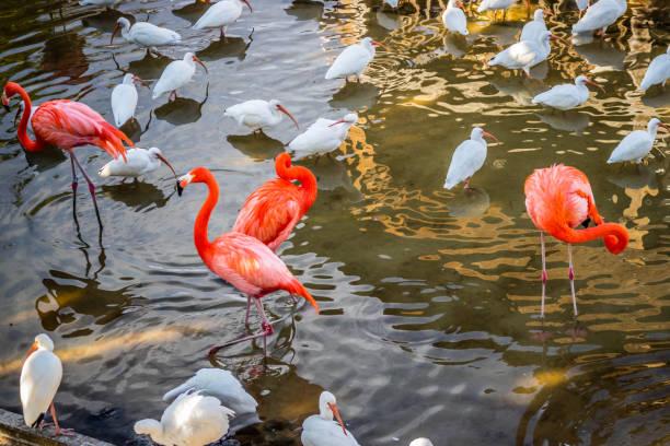 Pink Flamingos and white Ibis in Orlando, Florida stock photo