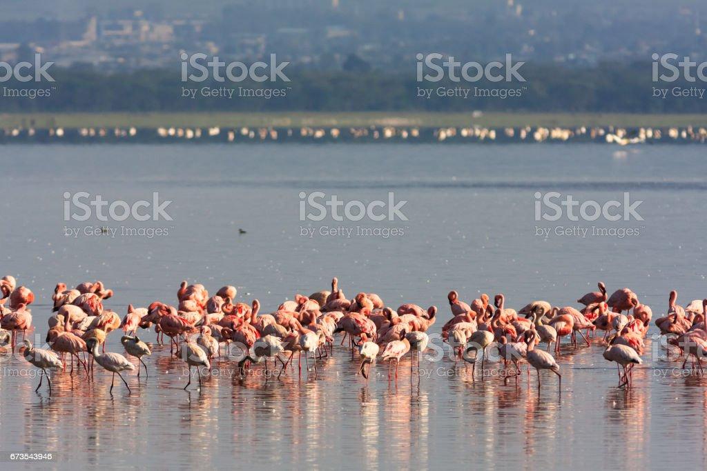 Pink flamingos flock in Nakuru lake. Kenya, Africa royalty-free stock photo