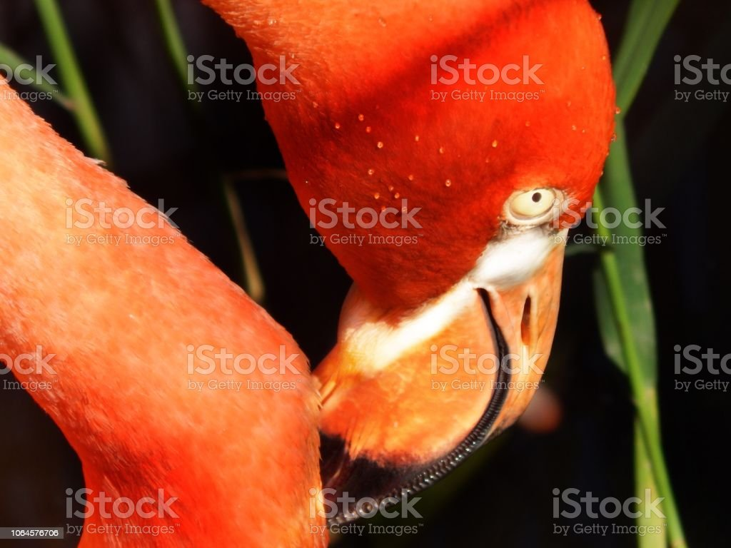 Pink flamingo's head stock photo