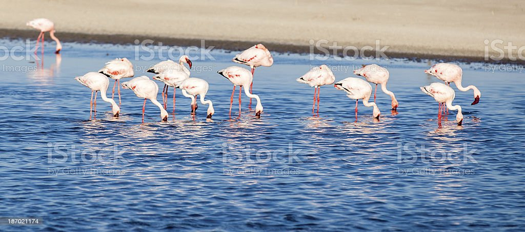Pink flamingos in blue water royalty-free stock photo