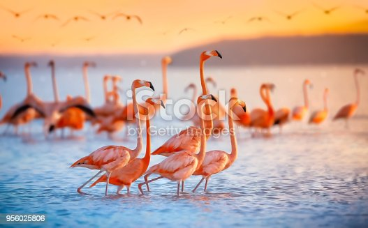 Pink flamingos in Celestun Mexico