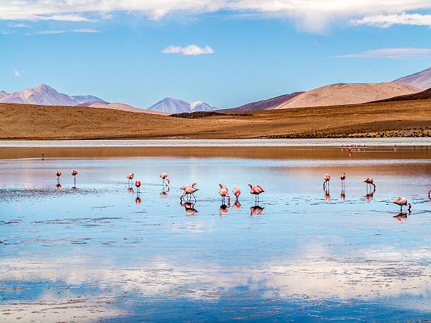 Pink flamingos in wild nature of Bolivia stock photo