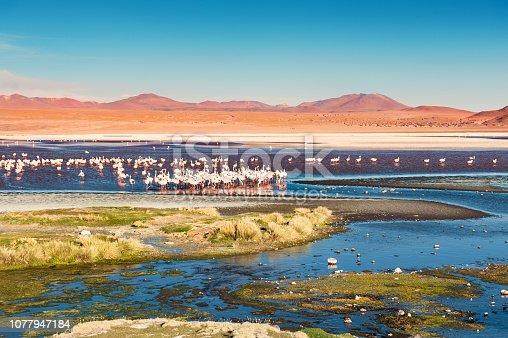 Pink flamingos on Laguna Colorada, plateau Altiplano, Bolivia