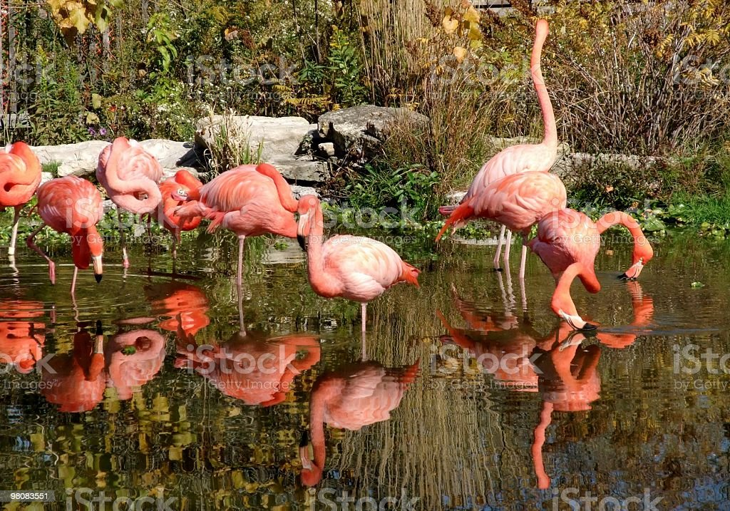 pink flamingos royalty-free stock photo