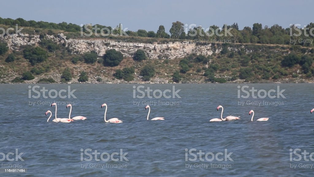 Pink flamingos walk on water and surface starts flying in Izmir bird...