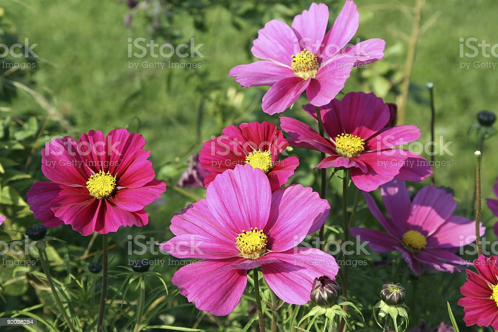 Pink florets royalty-free stock photo