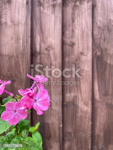 Pink flowers with green leaves against a brown wooden fence. Taken in the back garden in Derbyshire uk. Photo taken in summertime. Natural sunlight .