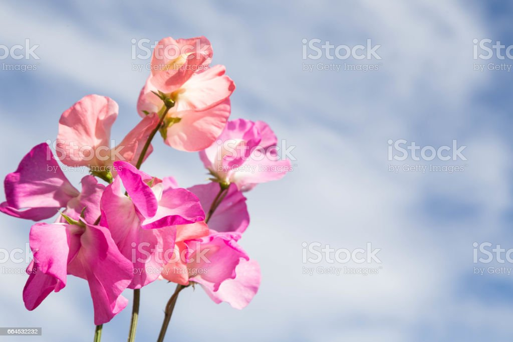 Pink flower against the blue sky with clouds royalty-free stock photo