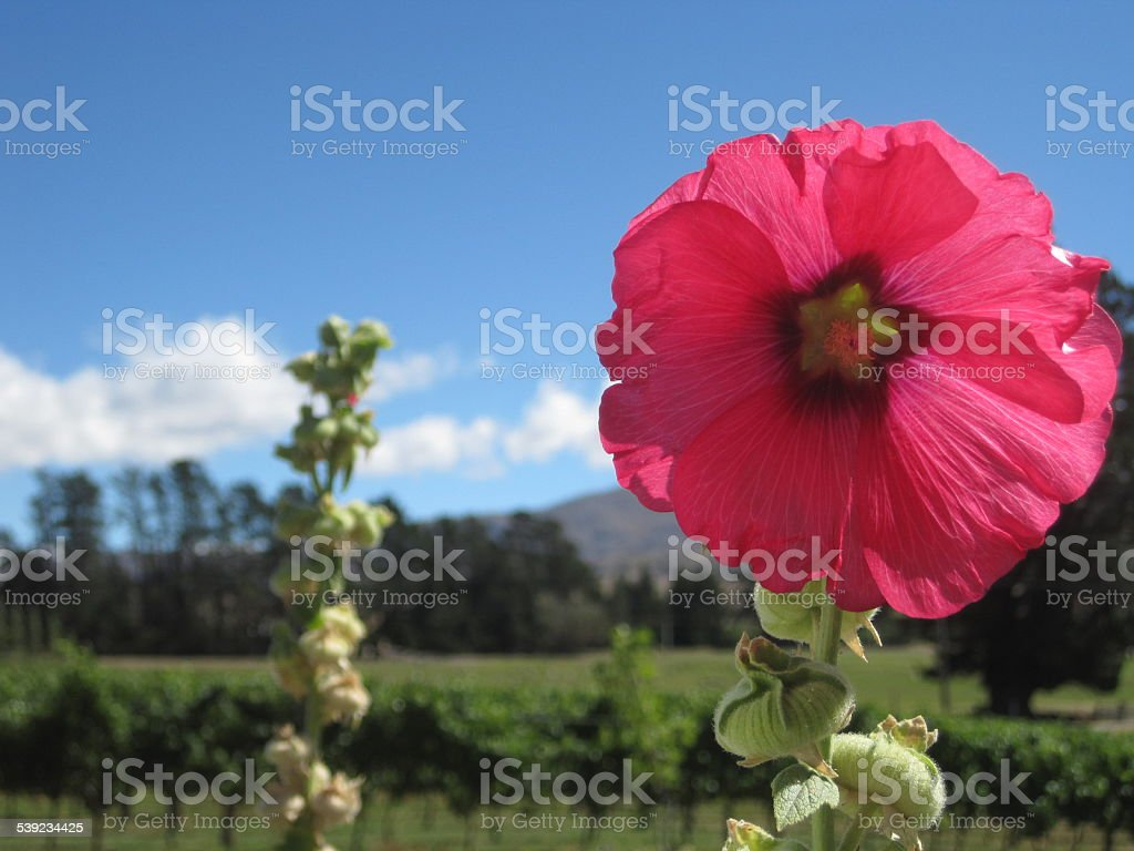 Pink Flower Against Vineyard and Blue Sky in New Zealand stock photo