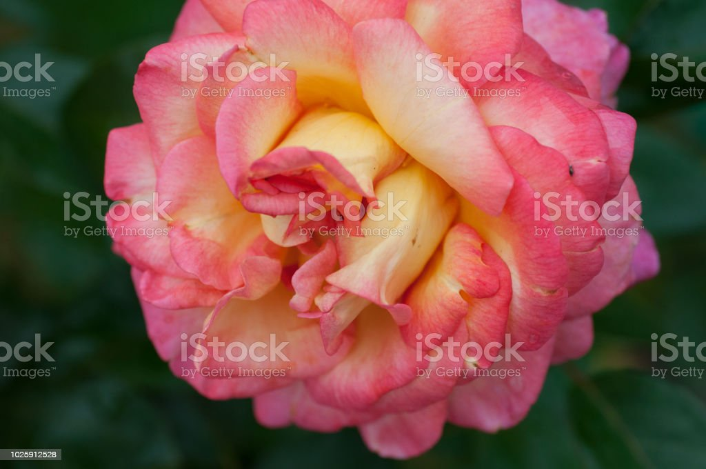 Royalty Free Image Fleur Rose Pictures Images And Stock Photos Istock