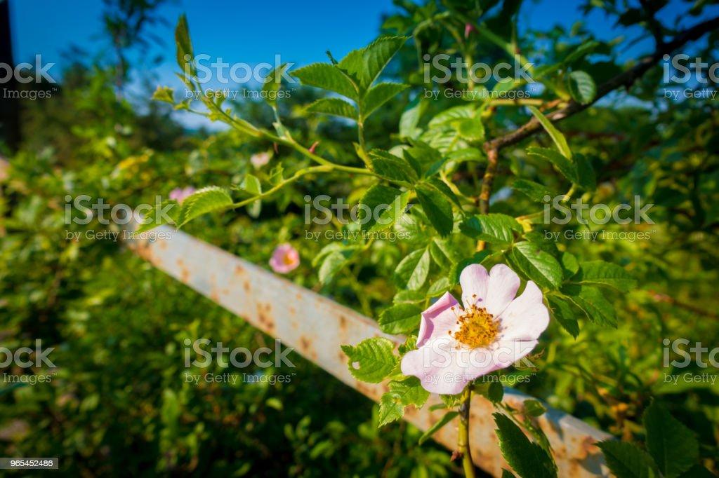 Pink Flower and blue Sky zbiór zdjęć royalty-free