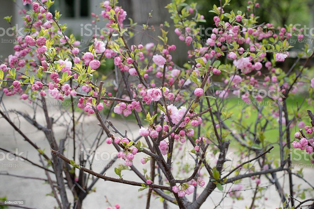 pink flower bush stock photo