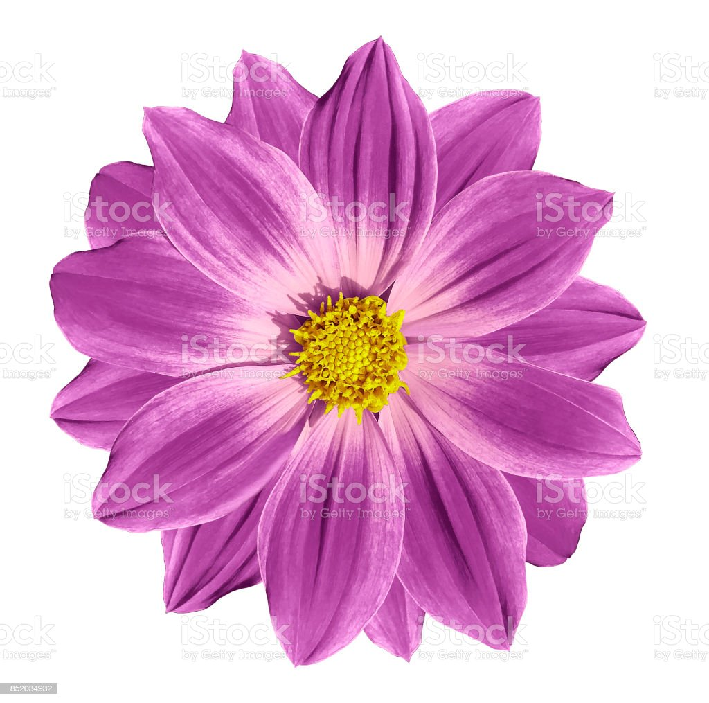 Pink Flower Daisy On A White Isolated Background With Clipping Path