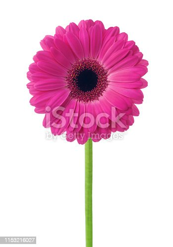 Pink flower gerbera daisy isolated on white background.