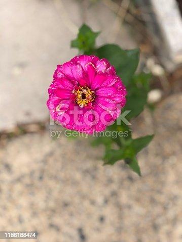 Pink flower growin in sidewalk crack