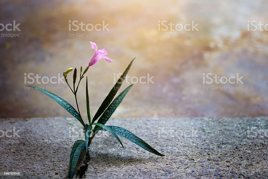 Pink flower growing on crack street, soft focus, blank text – Foto