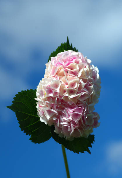 Pink flower hydrangea, Hortensia against blue sky with clouds. stock photo