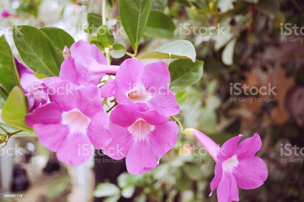 pink flower in garden. zbiór zdjęć royalty-free