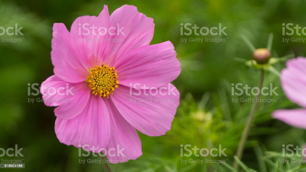 pink flower in Sunny weather. stock photo