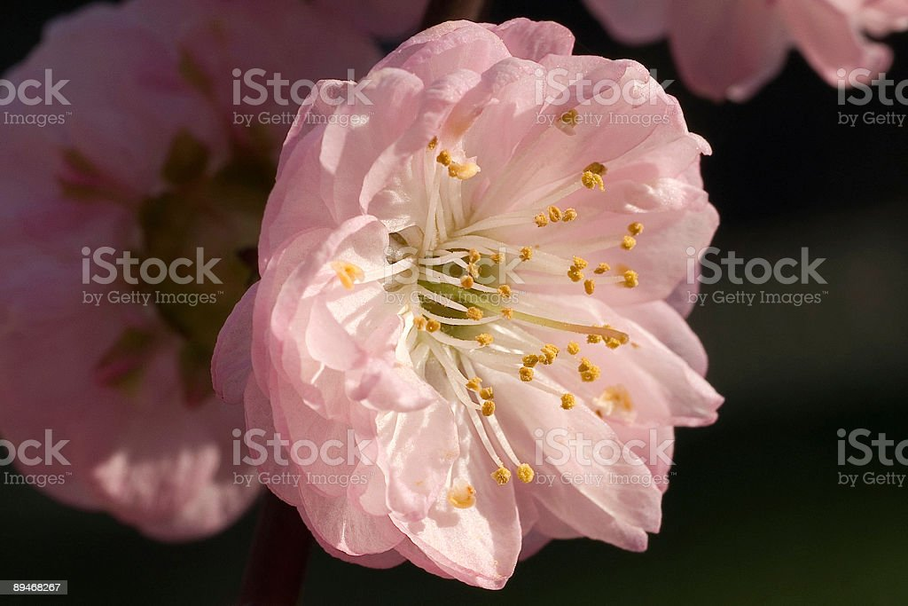 Pink flower in the sunrays royalty-free stock photo