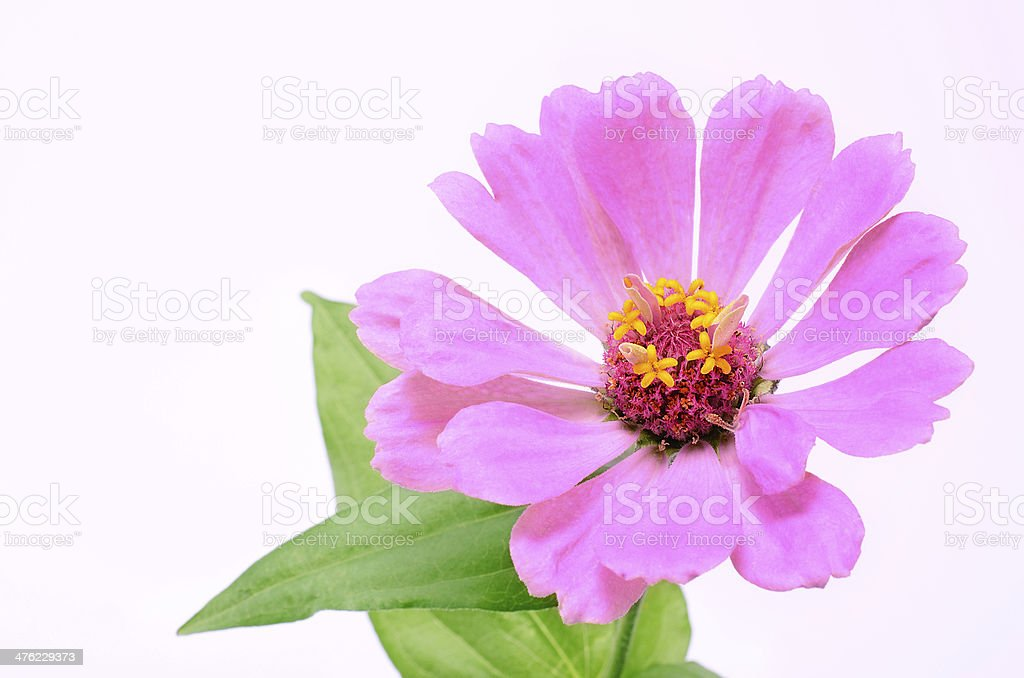 Pink flower isolated on white background royalty-free stock photo