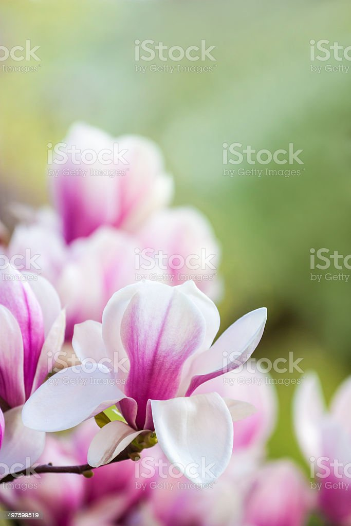 pink flower magnolia stock photo