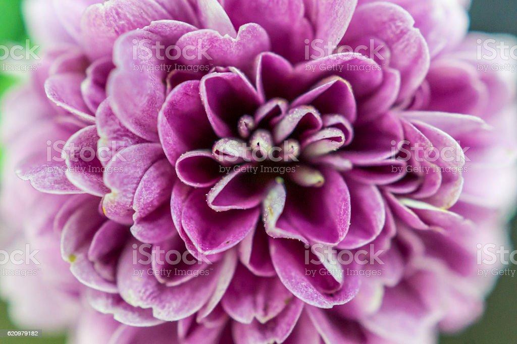 pink flower many petals macro foto royalty-free