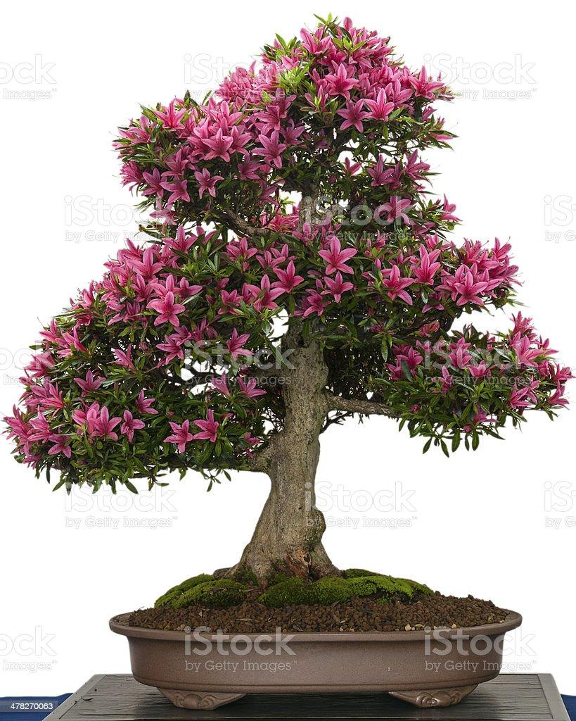 Pink Flower Of A Azalea Bonsai Tree Stock Photo Download Image Now Istock