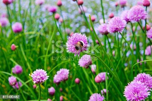 istock A pink flower of chives, Allium schoenoprasum 811430482