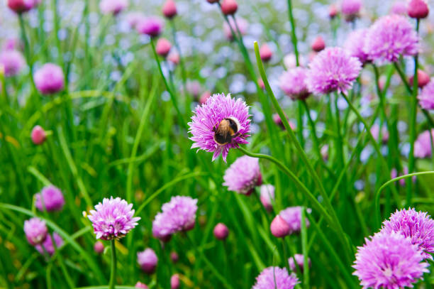a pink flower of chives, allium schoenoprasum - june stock photos and pictures