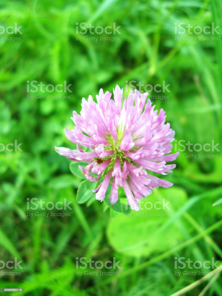 Pink flower of clover stock photo