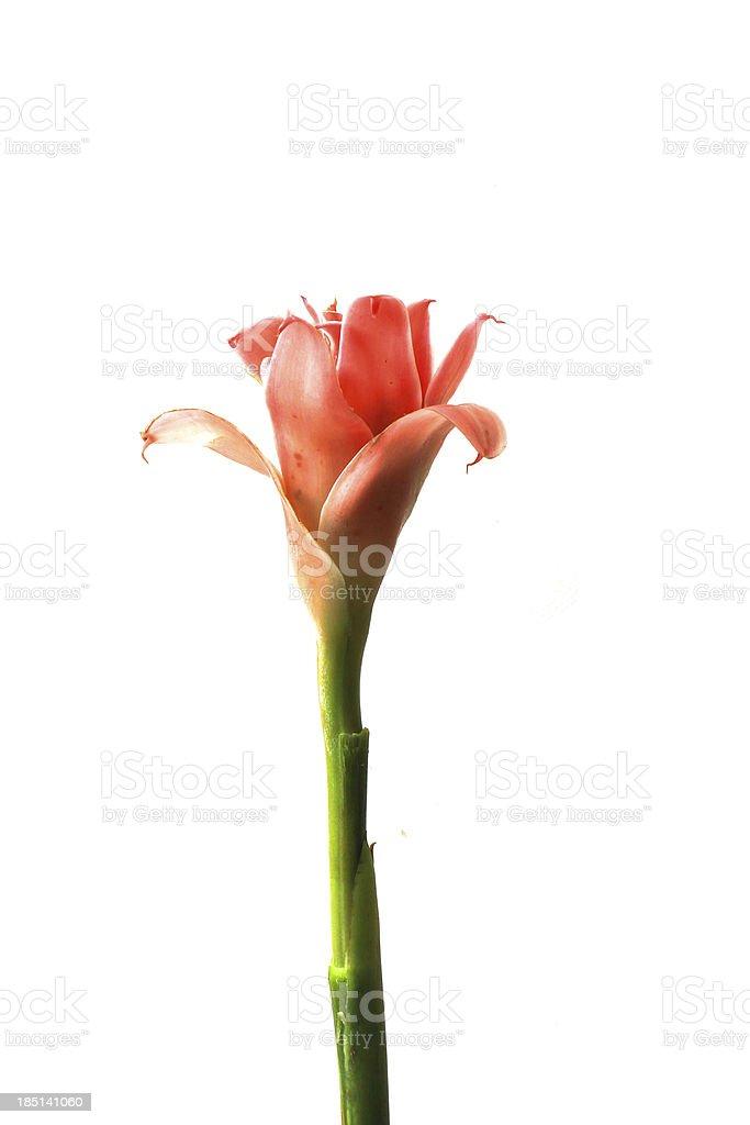 Pink flower of etlingera elatior royalty-free stock photo