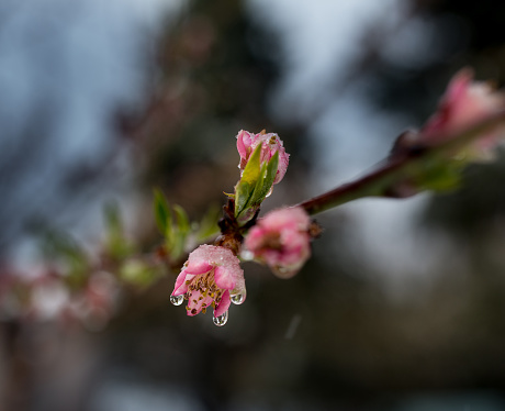 Pink flower of fruit tree covered with melting snow