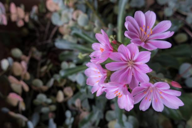 Pink Flower of Lewisia Cotyledon - Bitterroot in Autumn stock photo