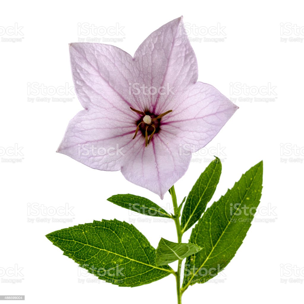 Pink Flower Of Platycodon Or Bellflowers Isolated On White Stock