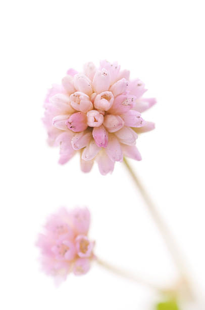 pink flower of poligonum on a white background - knotweed stock pictures, royalty-free photos & images