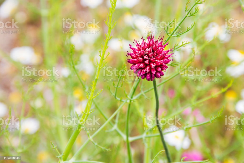 Flor rosada de puerro o ajo de cabeza redonda - foto de stock