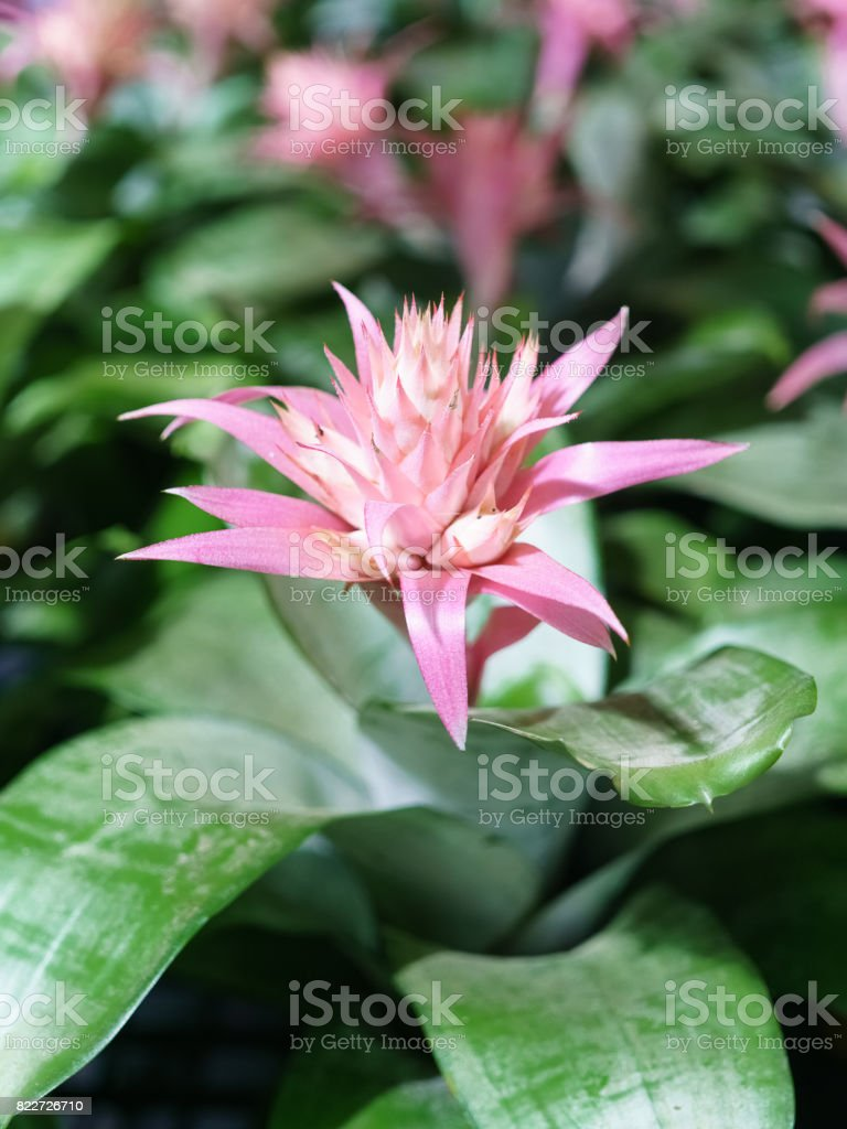 Pink flower of Urn Plant (Bromeliad or Aechmea fasciata or BROMELIACEAE) , Tropical flower in bloom in springtime – zdjęcie