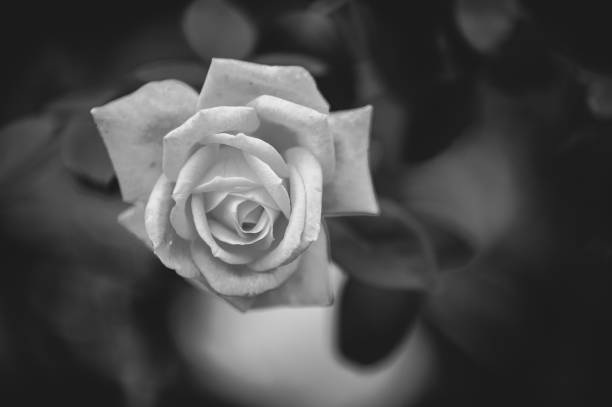 Royalty Free Fleur Noir Et Blanc Pictures Images And Stock Photos