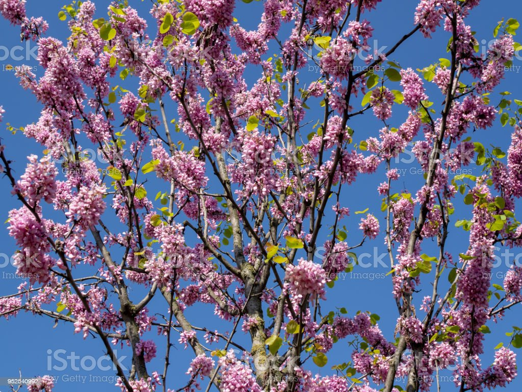 Pink flower on a tree with blue sky stock photo more pictures of pink flower on a tree with blue sky royalty free stock photo izmirmasajfo