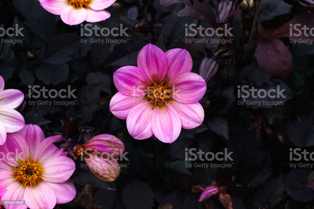 Pink flower on balck stock photo