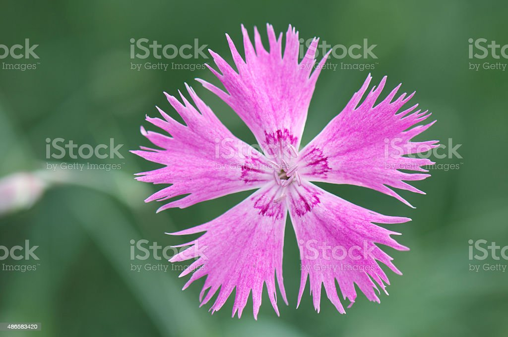 pink flower on green background stock photo