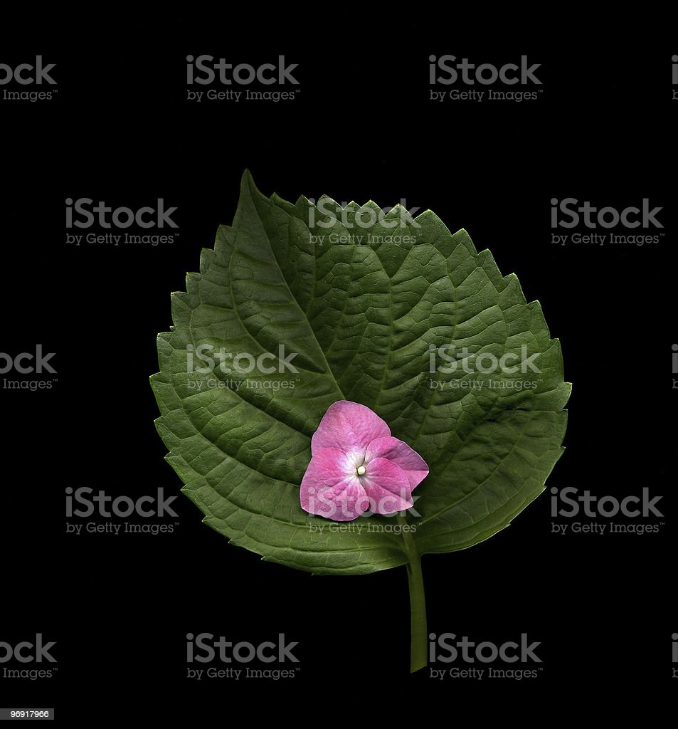 Pink Flower on Green Leaf royalty-free stock photo