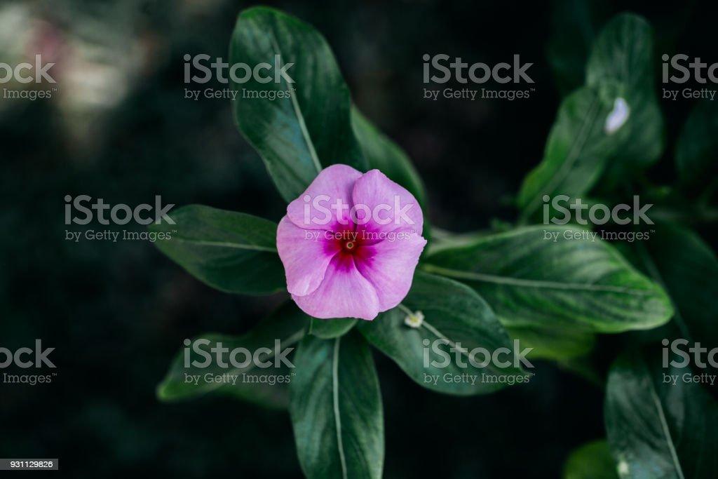 Pembe çiçek yeşil yaprakları arka plan üzerinde. Bahar çiçek arka plan. Pembe küçük çiçek görünümünü kapatın. Çiçek açan çiçekler. - Royalty-free Aydınlık Stok görsel