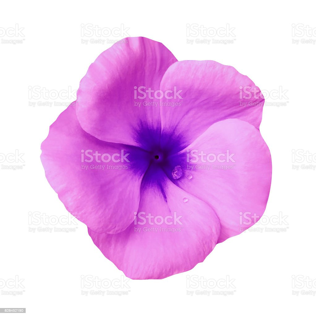 Pink flower on isolated white background with clipping path.  Closeup. Beautiful pink-blue flower Violets for design.  Nature. stock photo