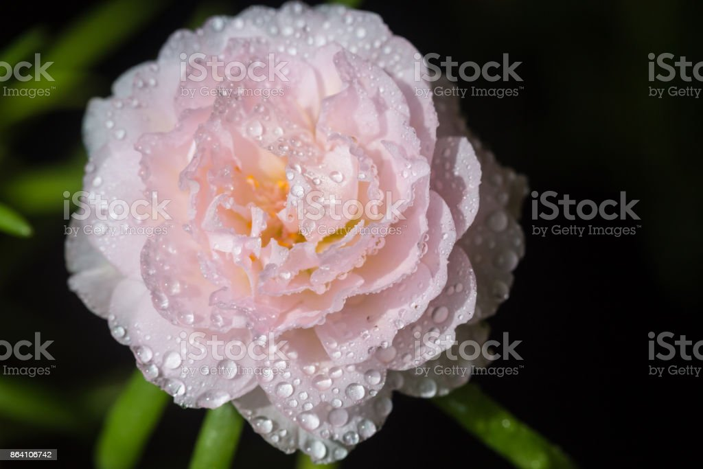 Pink flower on nature background, Common Purslane. royalty-free stock photo