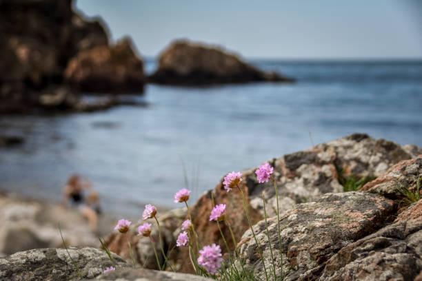 rosa blomma på klippiga kusten med hav och flicka på rock bakgrund - summer sweden bildbanksfoton och bilder