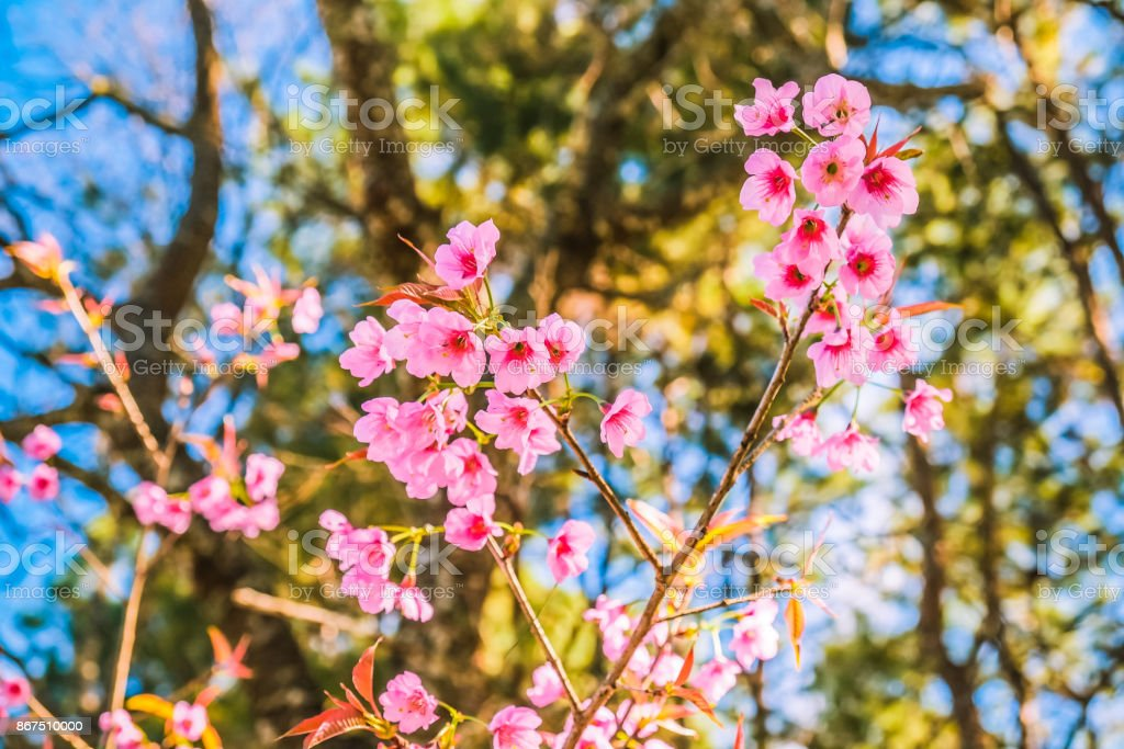 Pink Flower On Trees With Nature Forest Background Stock Photo
