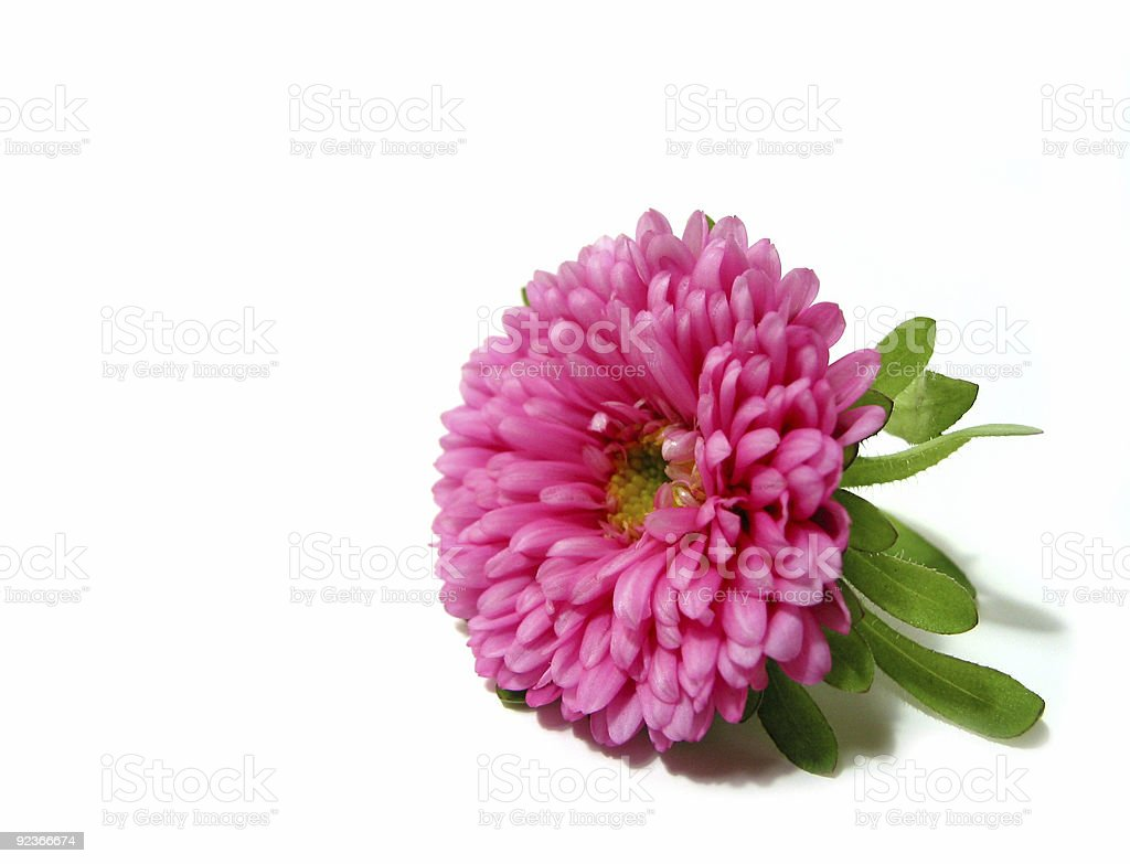 Pink flower on white background royalty-free stock photo